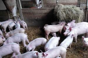 Schweine auf Stroh, © getreidekonservieren.de