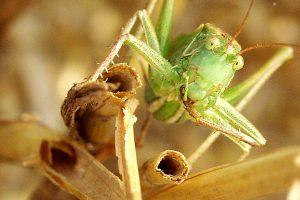 Heuschrecke, © getreidekonservieren.de