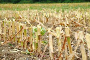 Maisstoppeln, © www.getreidekonservieren.de