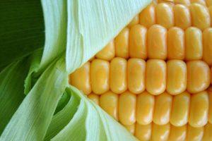 Maiskolben, © getreidekonservieren.de