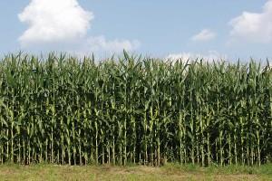 Maisbestand, © getreidekonservieren.de