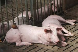 In der Schweinehaltung hatten im Sommer 2019 außergewöhnliche Exportmöglichkeiten nach China dazu geführt, dass Rekordpreise für Ferkel und Schlachtschweine realisiert werden konnten, © getreidekonservieren.de