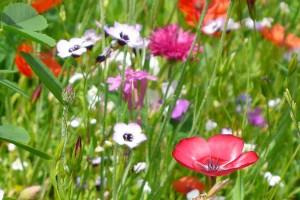 Blühstreifen, © getreidekonservieren.de