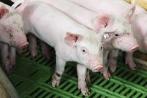 Für jedes kastrierte männliche Ferkel soll nach Angaben der Landwirtschaftskammer Niedersachsen sowie der Vereinigung der Erzeugergemeinschaften für Vieh und Fleisch ein Zuschlag von mindestens vier Euro gezahlt werden, © getreidekonservieren.de
