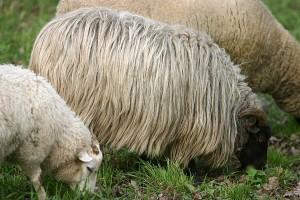 Schafe, © getreidekonservieren.de