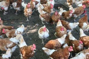 freilaufende Hühner, © getreidekonservieren.de