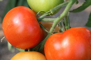 Tomaten, © getreidekonservieren.de