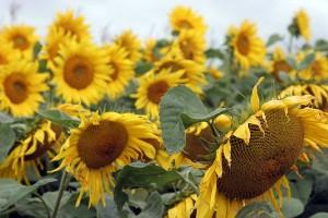 Sonnenblumen, © getreidekonservieren.de
