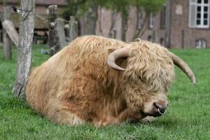 Highland-Cattle, © getreidekonservieren.de