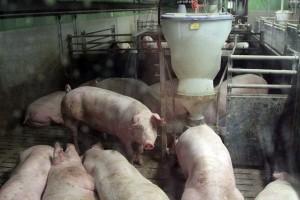 Schweinestall, © getreidekonservieren.de