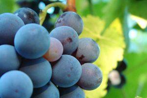 Weintrauben, © getreidekonservieren.de