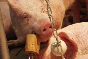 Schwein mit Spielzeug, © getreidekonservieren.de
