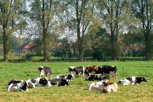 Kühe auf der Weide, © getreidekonservieren.de