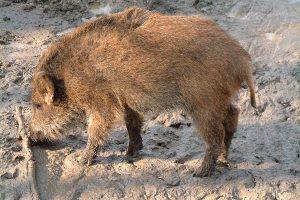 Wildschwein, © getreidekonservieren.de