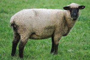 Schaf, © getreidekonservieren.de