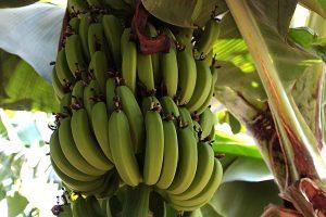 Bananen, © getreidekonservieren.de