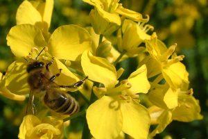 Biene im Raps, © getreidekonservieren.de