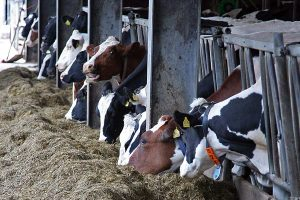 Milchkühe, © getreidekonservieren.de