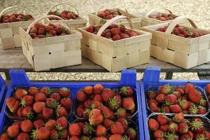 Anfang Mai beginnt in Niedersachsen die Erdbeer-Ernte in ungeheizten Folientunneln, voraussichtlich Ende des Monats die Ernte im Freilandanbau, © getreidekonservieren.de