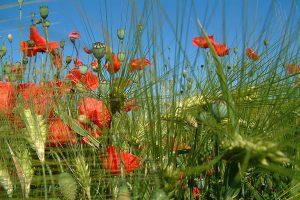 Mohnblumen, © getreidekonservieren.de