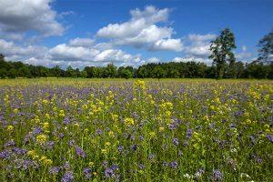 Blühfläche des Landwirts Bernd Pieper aus Papenburg, © miwefotos
